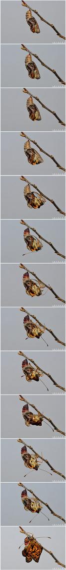 암어리표범나비 우화모습