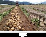 사진찍는 주말농부 이야기 - 개진감자 수확과 모심기