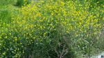 4월 5월의 노란꽃 - 배추꽃 유채꽃 갓꽃 구별 십자화과 채소 야생 겨자, 브로콜리, 케일, 양배추, 콜라비 모두 같은 Brassica 종