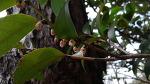 사스레피나무