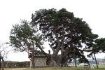 괘릉리의 소나무