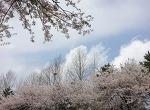 어느 봄날 (벚꽃길)