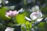 연꽃들  [부산 철마면 연꽃지]