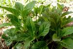 면역력 향상에 좋은 곰보배추의 5가지 효능