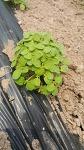 유기농참깨 재배과정
