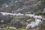 삼랑진 벚꽃