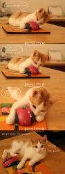 (두부양) 두 얼굴의 아기 고양이, 정체를 밝혀랏!