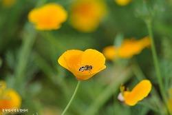 봄을 유혹하는 야생화 - 양귀비