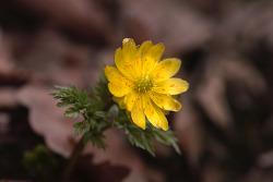복수초 (얼음살이꽃 또는 얼음새꽃 )