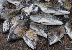 알배기 생선 즐겨먹는 한국의 모순된 인식