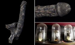 Is this really a 7-inch long mummified PENIS that belonged to an 18th century Englishman who became aroused as he was hanged? Museum claims artefact is worth £100,000!