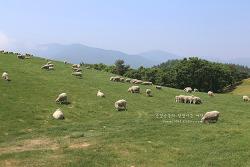 한국의 알프스, 여름에 시원한 여행지로 추천하는 대관령 양떼목장