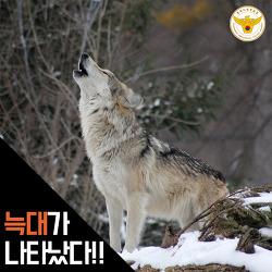 늑대가 나타났다