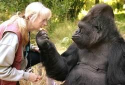 VIDEO: Koko the Kitten-Loving Gorilla Who Learned Sign Language Dies at 46 수화를 할 줄 알았던 총명한 고릴라 '코코' 46세로 생을 마감하다