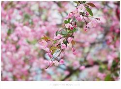 [4월 분홍꽃나무] 서부해당화(할리아나꽃사과.수사해당) 이야기