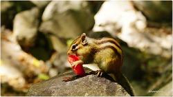 수박 먹는 야생 다람쥐