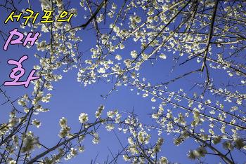 서귀포 걸매공원에 활짝 핀 봄의 전령사 매화