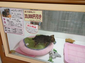일본 장모치와와 가격