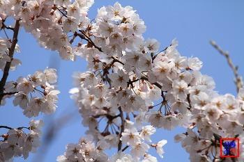 2014년 봄소식 2, 하얀 꽃망울을 터트린 벚꽃