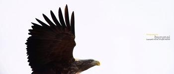 올해 처음만난 흰꼬리수리(white-tailed sea eagle)는 그러하다.
