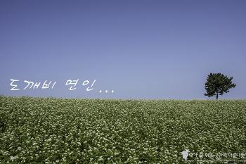 지금 제주는 도깨비 열풍, 제주시내에 펼쳐진 메밀밭