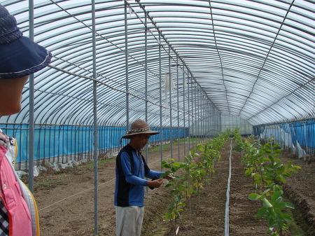 구아바,구아바묘목,우수신품종구아바,구아바재배농장,구아바재배기술지도