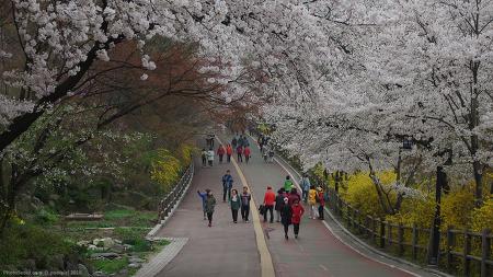 서울 남산의 벚꽃 (2016봄)