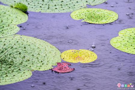 비내리는 연못