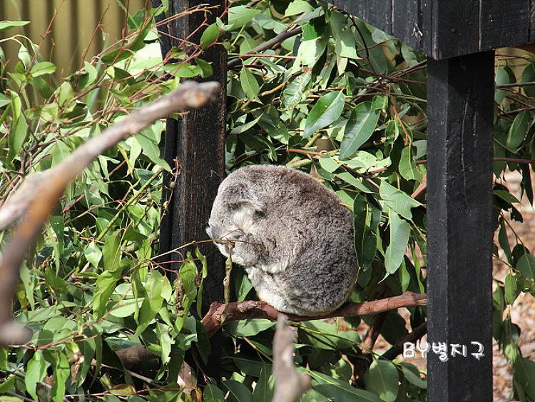 [SYDNEY] 호주 파충류 공원에서 코알라 구경을! Australian Reptile Park in Sydney