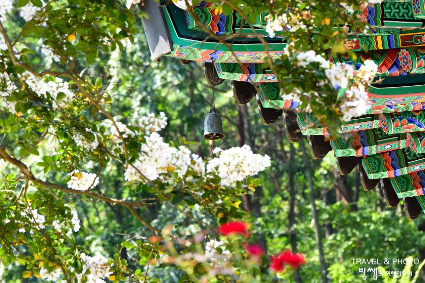 행복을 만나다. 하얀색 고운 빛 의령 유학사 배롱나무 꽃