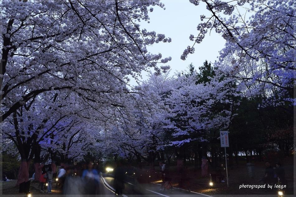4월 벚꽃 만발했던 일산 호수공원 야경