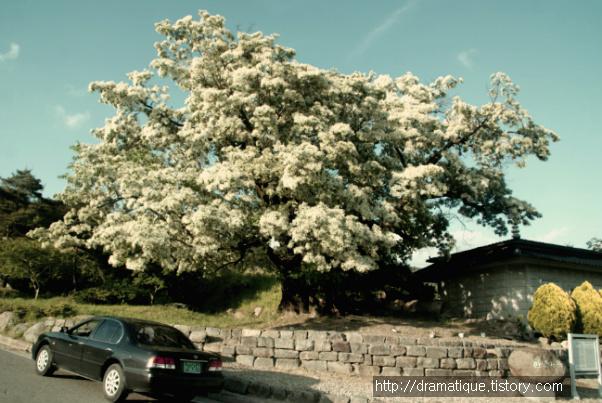 거대한 이팝나무