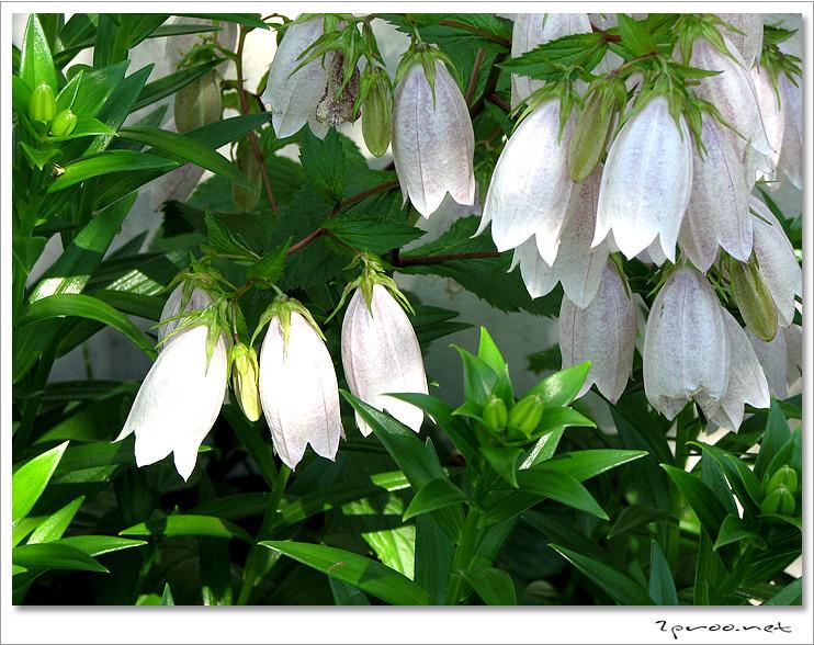 초롱꽃 사진