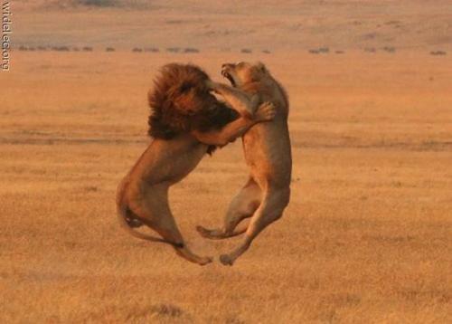 사자 부부싸움