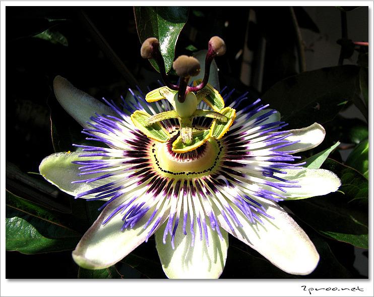 시계꽃 사진, 시계꽃 덩굴 사진