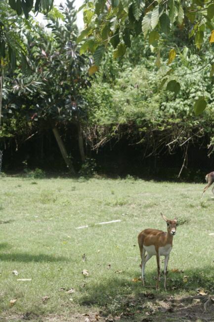 발리 사파리 사슴