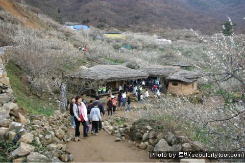 [전남 광양] 매화마을 매화 축제 둘러보기
