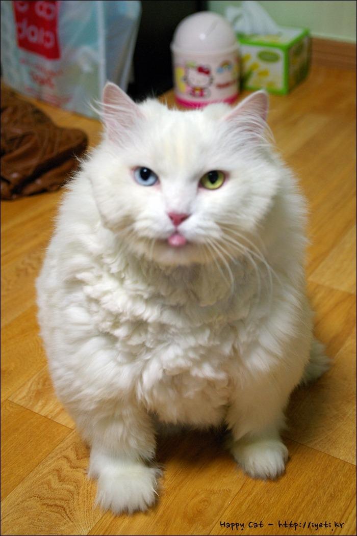 거대고양이 양군 메롱