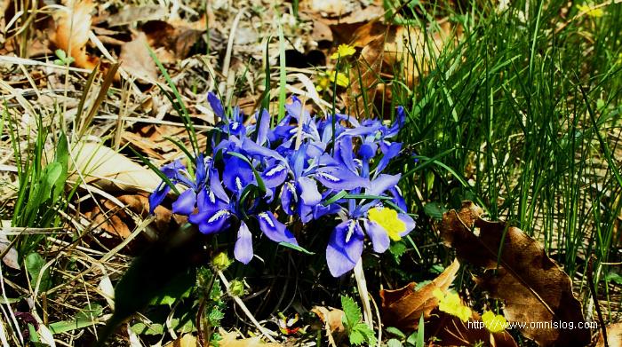 예쁜 봄꽃 자주색 각시붓꽃  Iris
