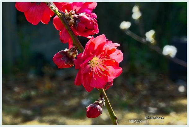 홍도,붉은복숭아꽃,Red Peach Blossoms,赤い桃の花,红色的桃花,