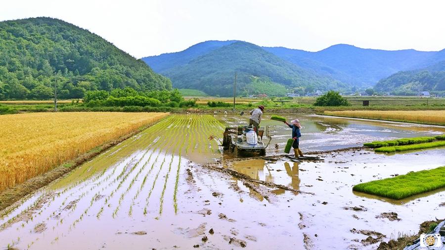 농촌모내기풍경사진
