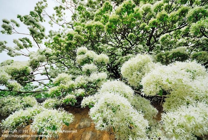 포항 여행 / 흥해 향교산 / 의창읍 이팝나무 군락지 / 흰 쌀밥이 주렁주렁?