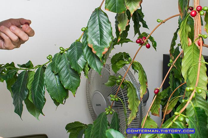 커피나무 열매
