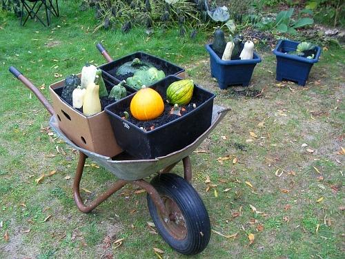 ▲ 올 가을 텃밭에서 수확한 채소