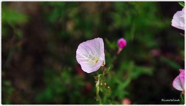스페키오사달맞이 - 낮달맞이꽃 Oenothera speciosa