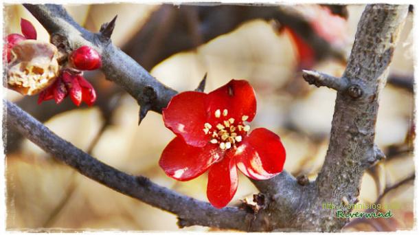 가시나무에 핀 빨간꽃