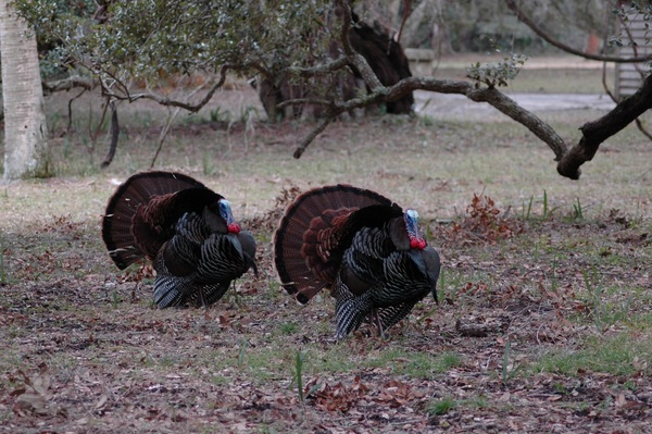 Free Stock Photo JPG file Two turkeys Stock Photo