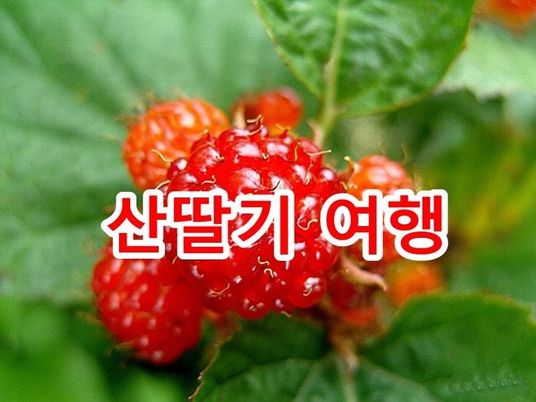 대구 가창땜농장-산딸기(복분자) 오디 석류 체험 농장