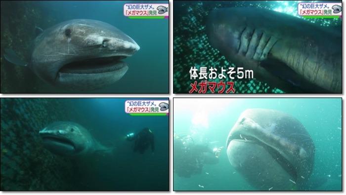 일본 대지진 전조인가 메가마우스 상어 잡히다.