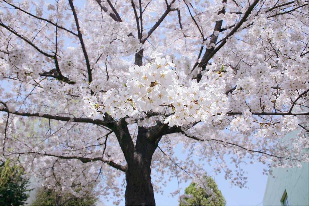 벗꽃 가지가 손을 내밀듯 카메라를 향해 뻣어있는 사진-가로로 촬영되어 있음.
